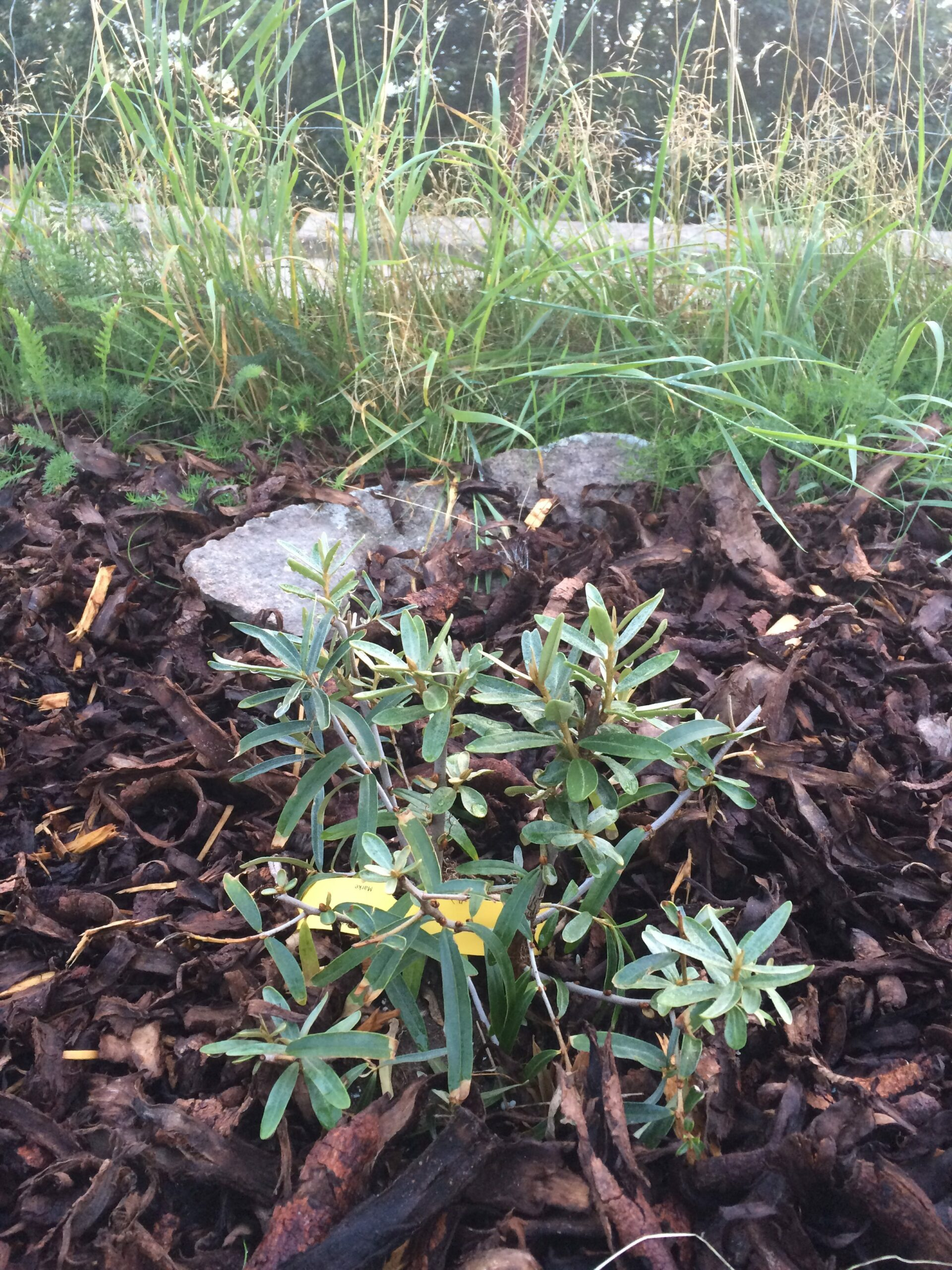 Mullbärsplantor planteras i Clary's Hage